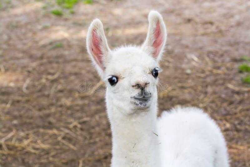 Llama (Lama glama) baby. Full white llama (Lama glama) baby head stock images