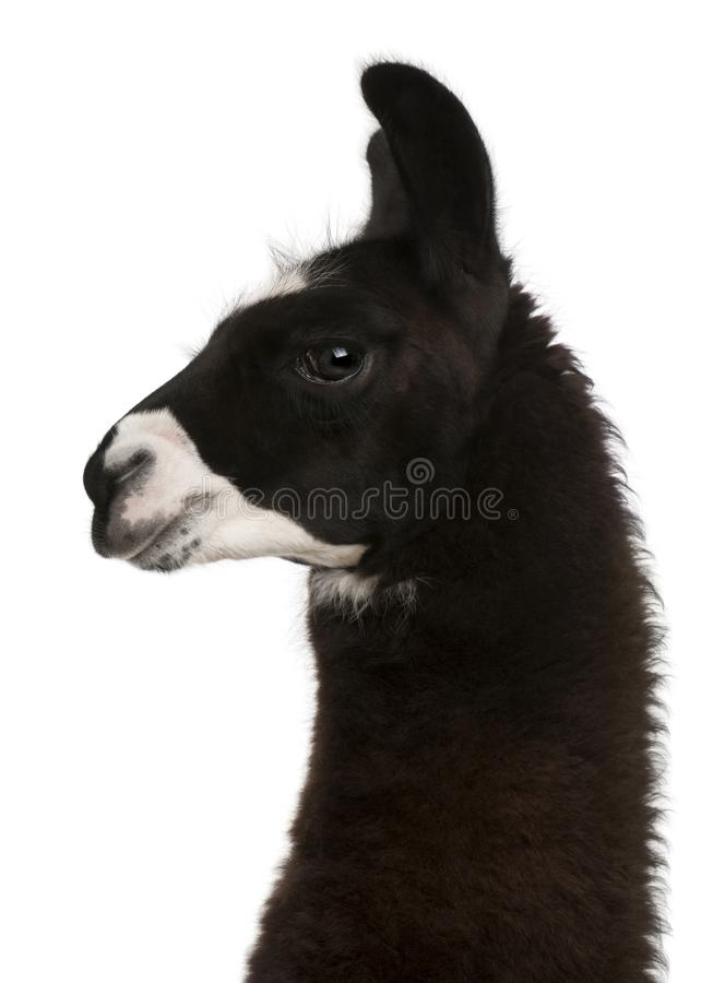 Llama, Lama glama, in front of white background royalty free stock photography