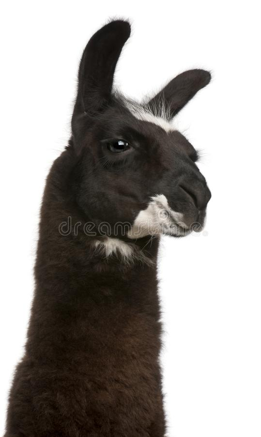 Llama, Lama glama, in front of white background stock photo