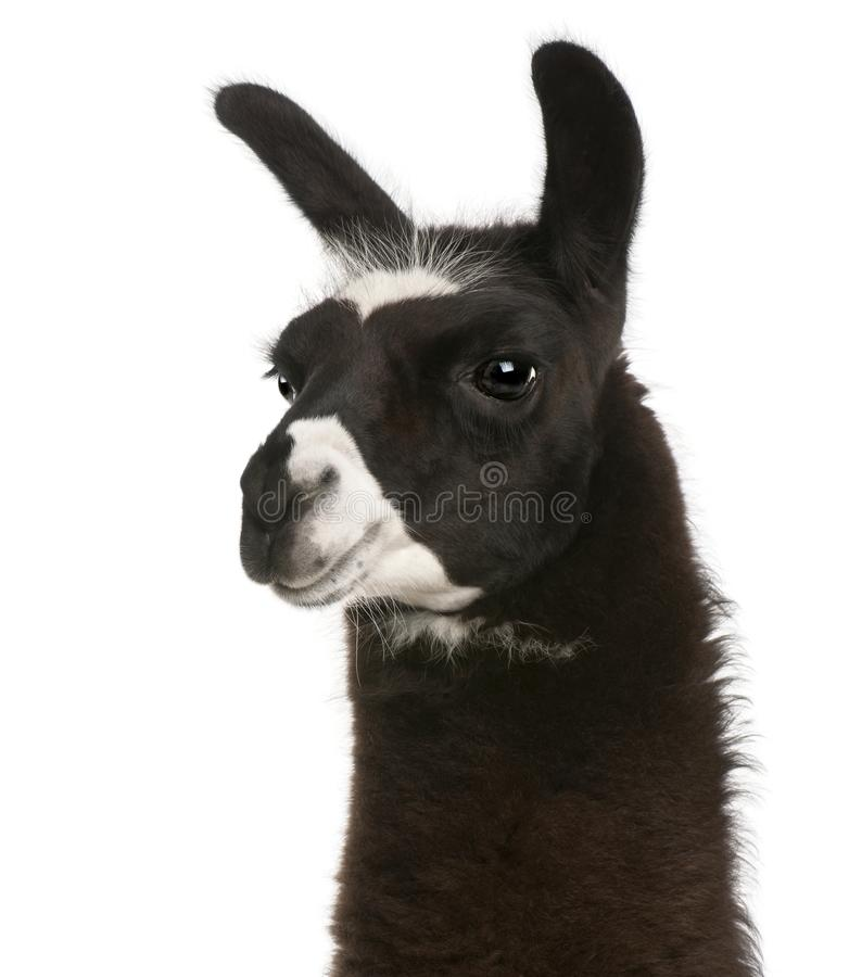 Llama, Lama glama, in front of white background stock photography