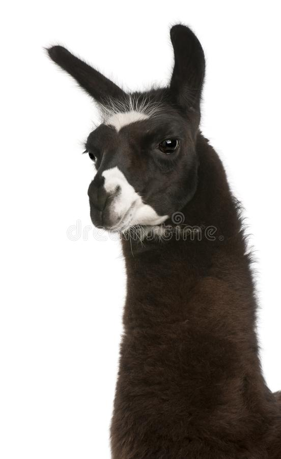 Llama, Lama glama, in front of white background royalty free stock images