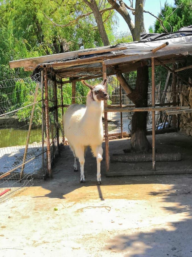 Llama lama glama royalty free stock image