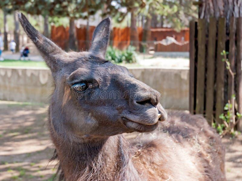 Llama (lamaglama) fotografering för bildbyråer