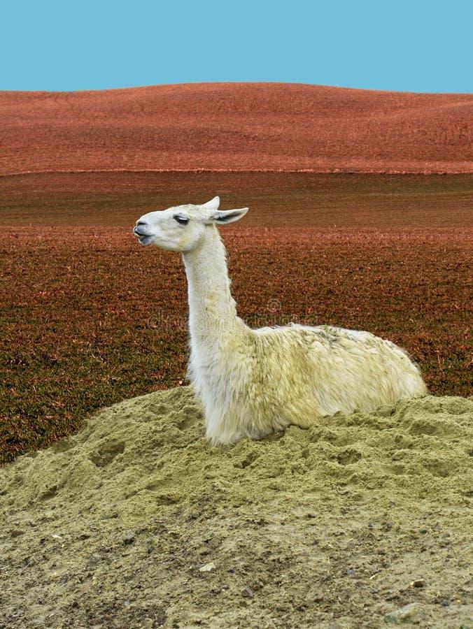 Llama linda Lama Glama Sitting fotografía de archivo libre de regalías