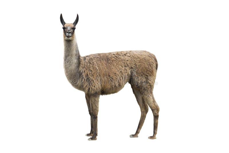 Llama. Isolated on white background royalty free stock photos