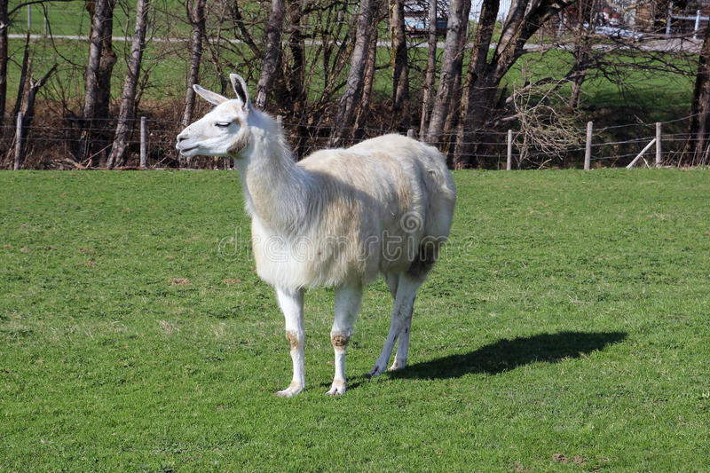 Llama. S are held in Germany as very much popular and humble domestic animals royalty free stock photo