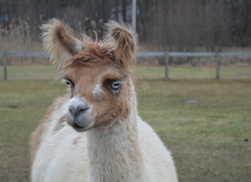 Llama. This llama is looking attentive and curious stock image