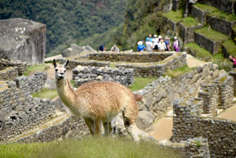 Llama looking up with ruins in the background. Focus on Llama looking up with old ruins of buildings and tourists exploring the historical site in the background stock photos
