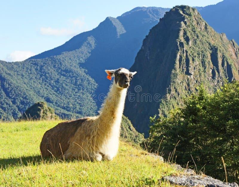 Llama ?? Machu Picchu στοκ φωτογραφία με δικαίωμα ελεύθερης χρήσης