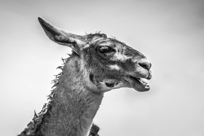 Llama in Machu Picchu, Cuzco, Peru stock photography