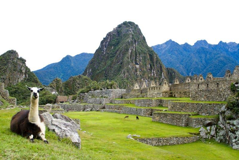 Llama at Machu Picchu, Peru royalty free stock image