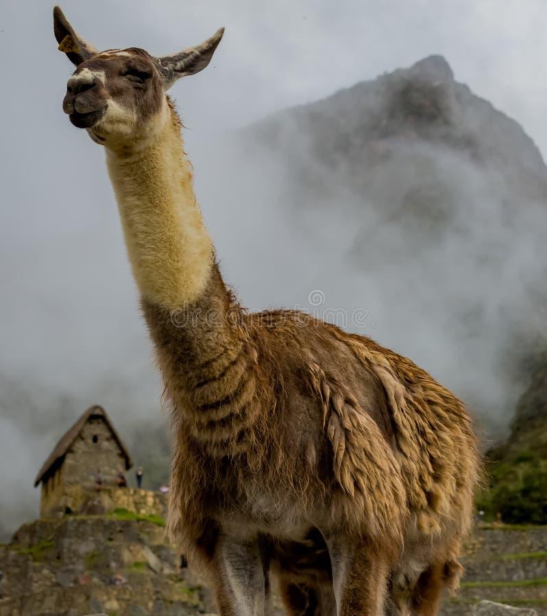 Llama in misty Machu Picchu with upward ears. Tall Llama in misty Machu Picchu with upward ears royalty free stock photography