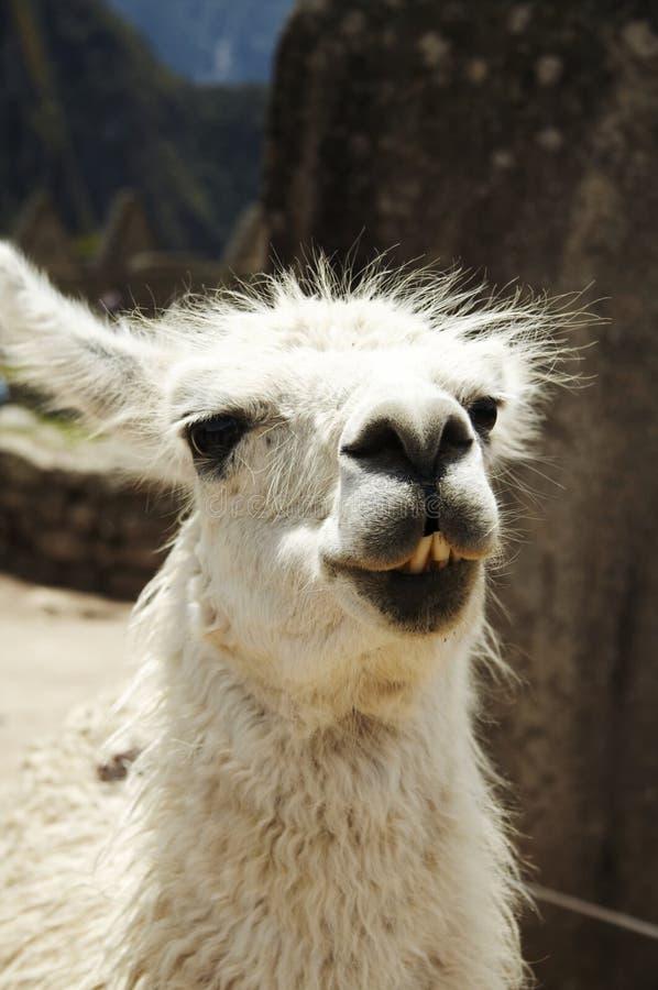Llama Peru royalty free stock photo