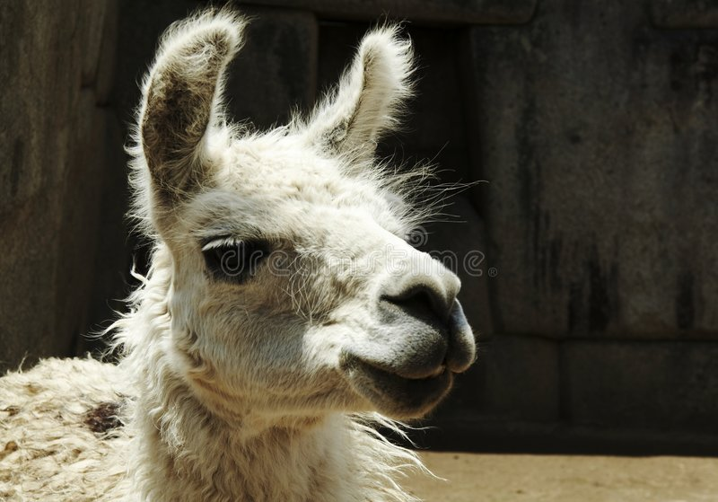 Llama peruana imagen de archivo