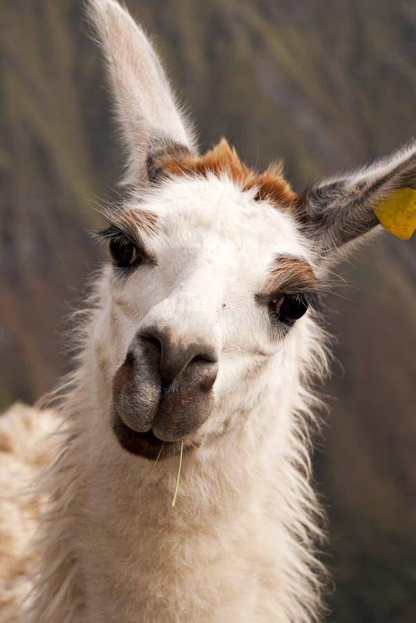 Llama portrait. Portrait of funny llama from Peru stock images