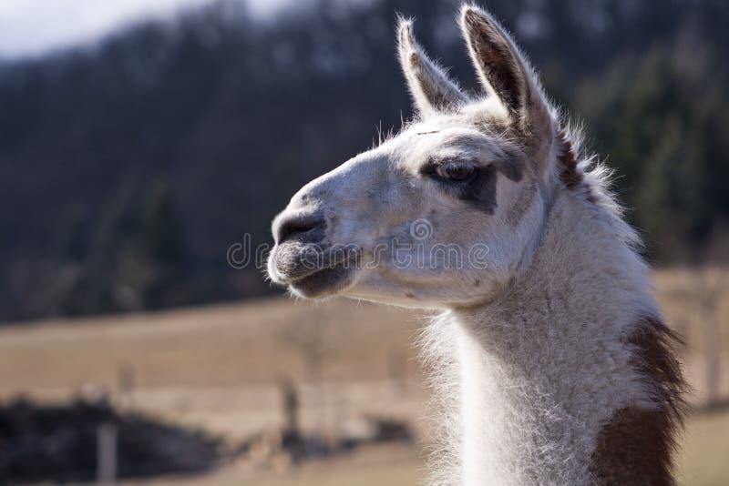 Llama Portrait stock photos