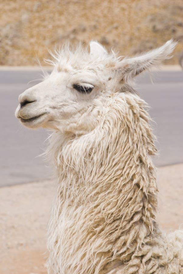 Llama Portrait Royalty Free Stock Images