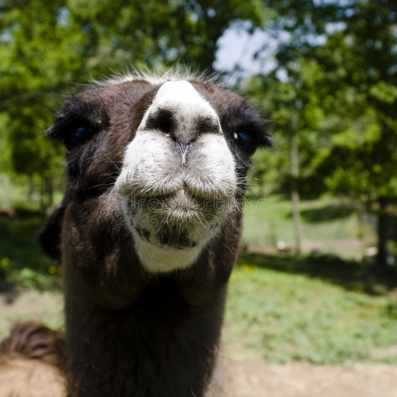 Download Llama Portrait stock image. Image of andean, curious, peru - 5233763