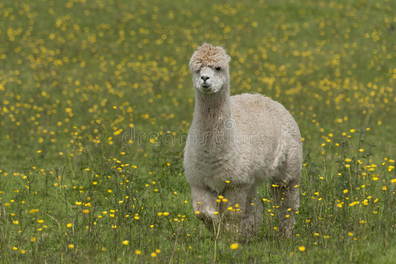Llama. Portrait - a larger but related animal to the Alpaca royalty free stock photography