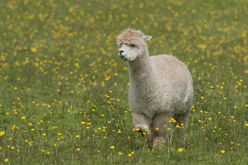 Llama. Portrait - a larger but related animal to the Alpaca stock images