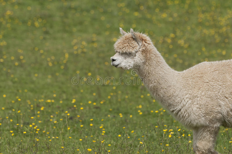 Llama. Portrait - a larger but related animal to the Alpaca stock photography