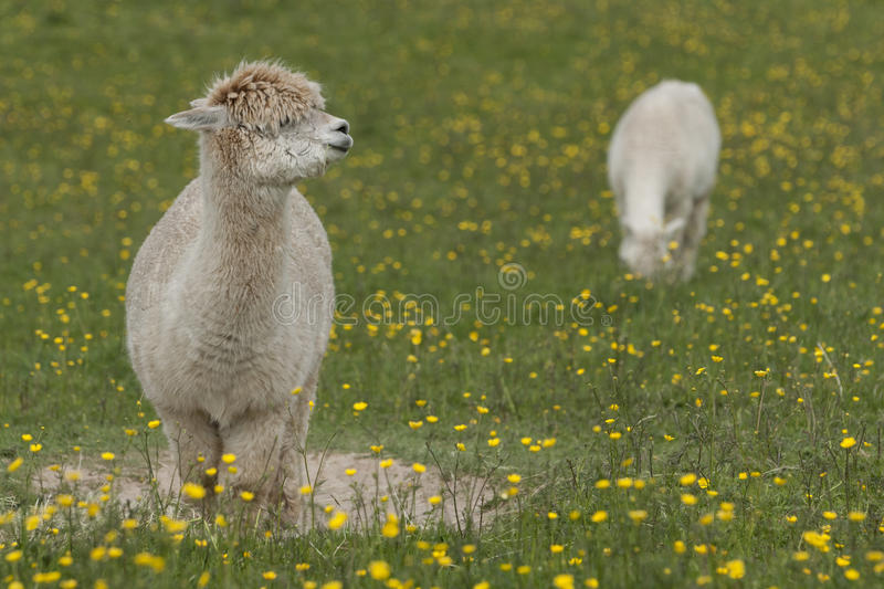 Llama. Portrait - a larger but related animal to the Alpaca royalty free stock photos