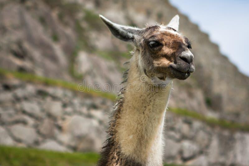 Llama in Machu Picchu, Cuzco, Peru stock photos