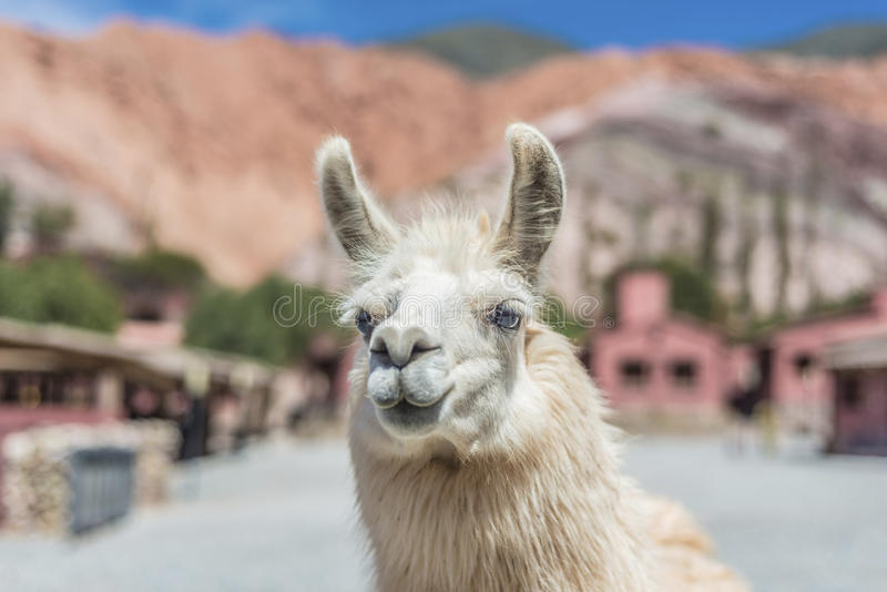 Llama in Purmamarca, Jujuy, Argentina. stock photo
