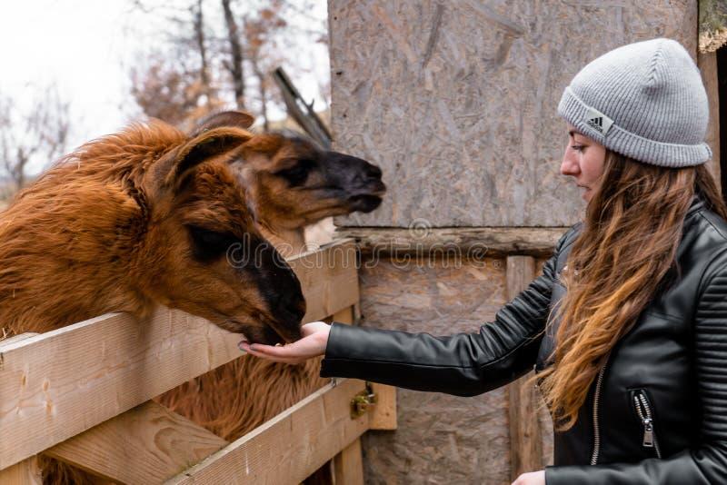 Llama que come de la mano de la muchacha en el parque zoológico imagen de archivo libre de regalías