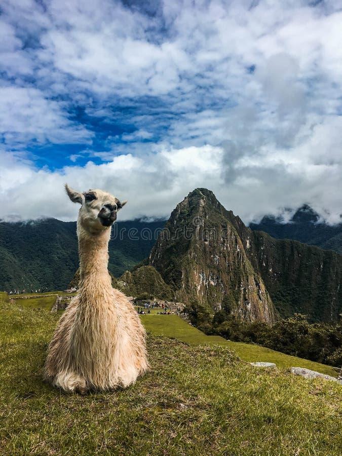 Llama que se relaja en Machu Picchu imagen de archivo