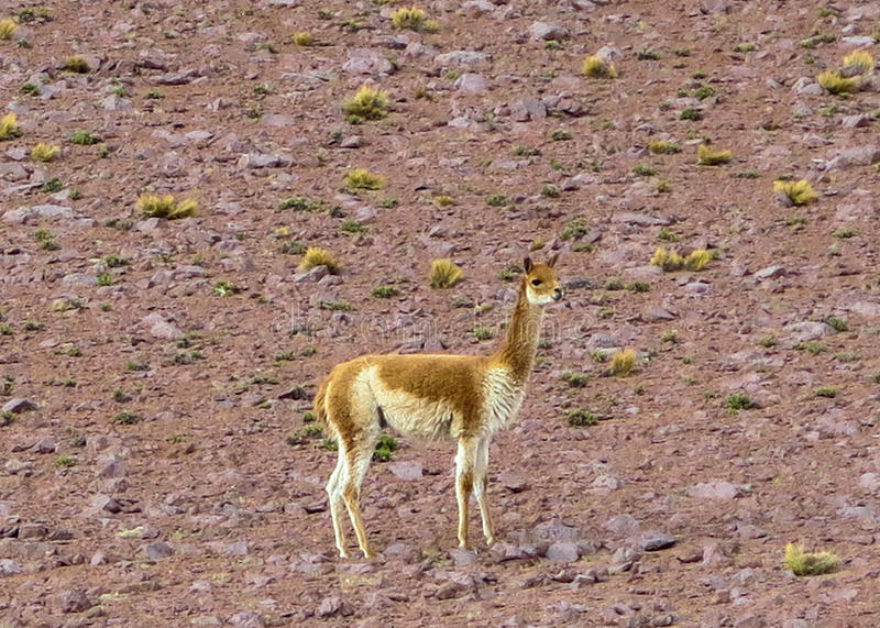 LLAMA AT RED LAGOON, BOLIVIA. This photo was taken on Feb, 2015 in Bolivia. South American Camelidae are grouped into four species: Vicuna, Guanaco, Llama, and royalty free stock photography
