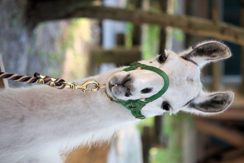 Download Llama Ride stock photo. Image of animal, lead, tampa, llama - 7193574