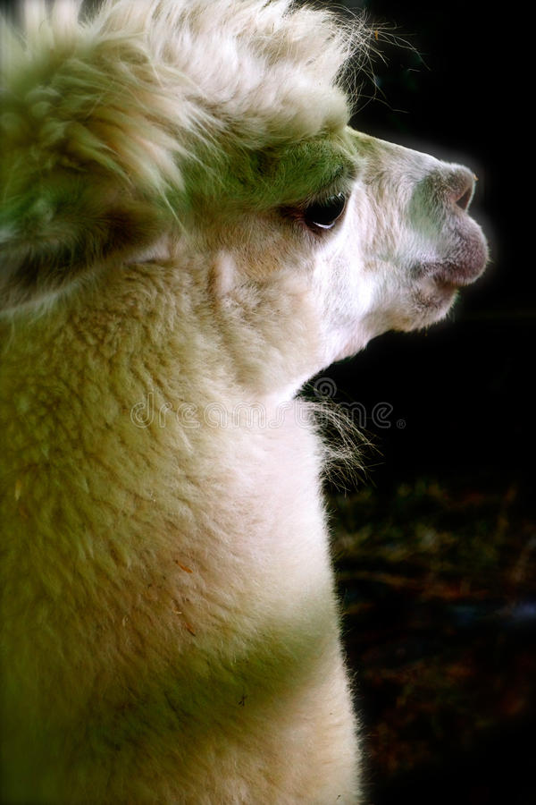 Llama Close-up. Petting zoo gentle animals includes this stoic Llama waiting his turn to great kids stock photos