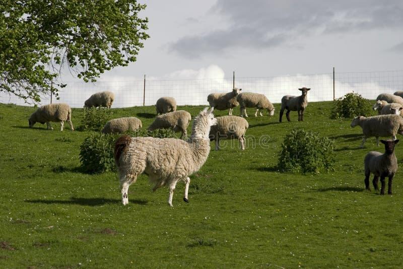 Download Llama And Sheep Royalty Free Stock Images - Image: 2303489