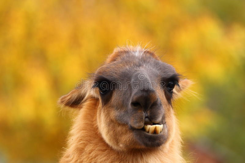 Llama showing its teeht. Funny spitting llama portrait shoving its teeth over autumn background stock images