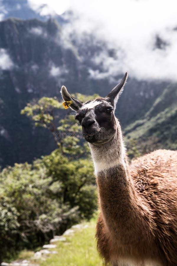 Llama sonriente que vive en Machu Picchu foto de archivo libre de regalías