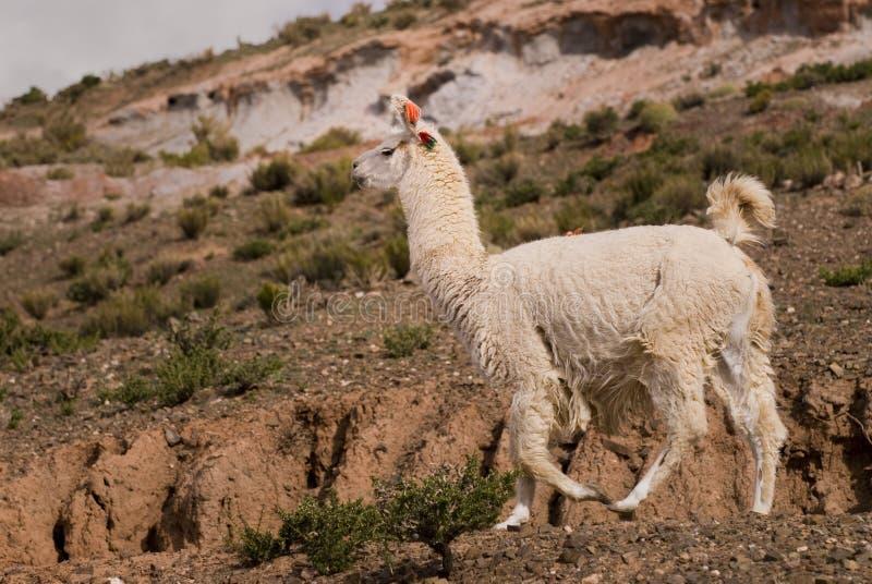 Llama una alta altitud Camelid foto de archivo libre de regalías
