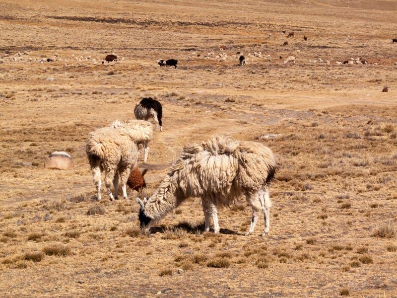Llama in the wild in Bolivia highlands altiplano - vicuna alpaca lama stock photography