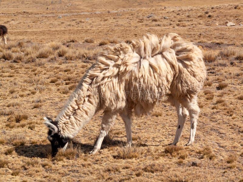 Llama in the wild in Bolivia highlands altiplano - vicuna alpaca lama royalty free stock photos