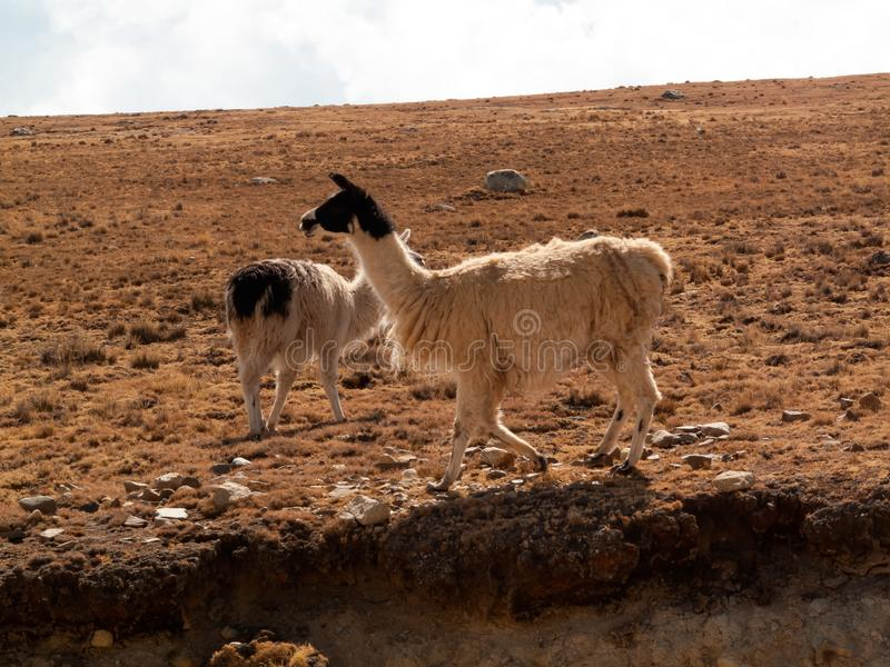 Llama in the wild in Bolivia highlands altiplano - vicuna alpaca lama stock photo