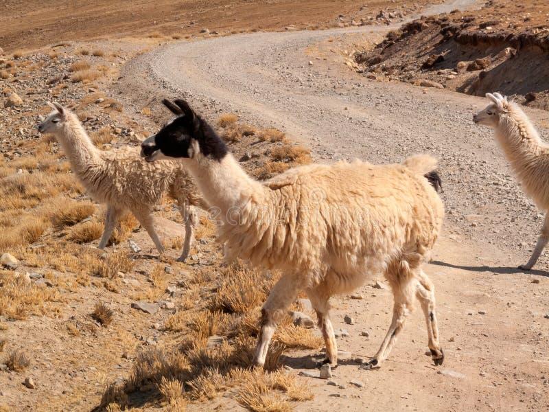 Llama in the wild in Bolivia highlands altiplano - vicuna alpaca lama royalty free stock photo