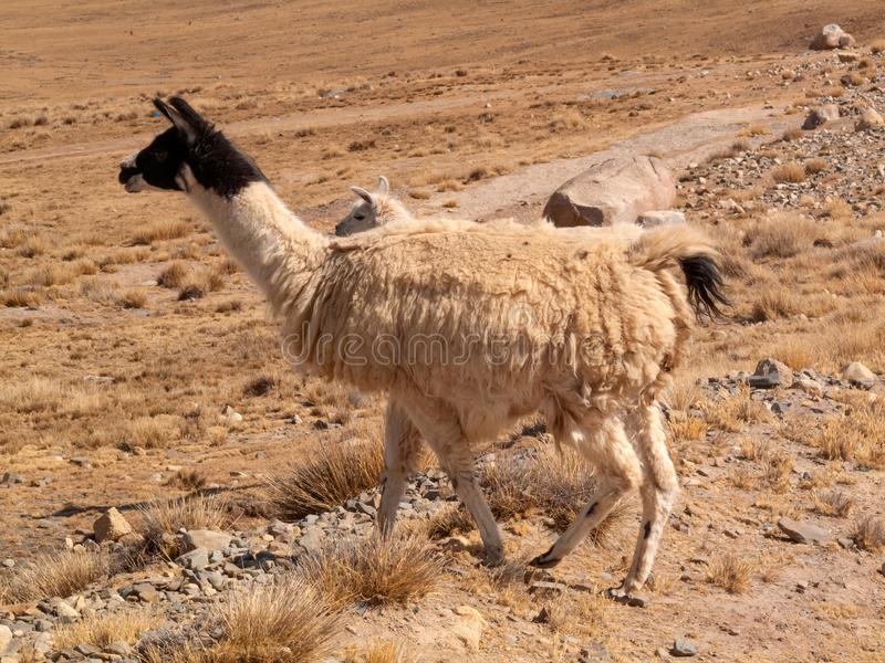 Llama in the wild in Bolivia highlands altiplano - vicuna alpaca lama royalty free stock images