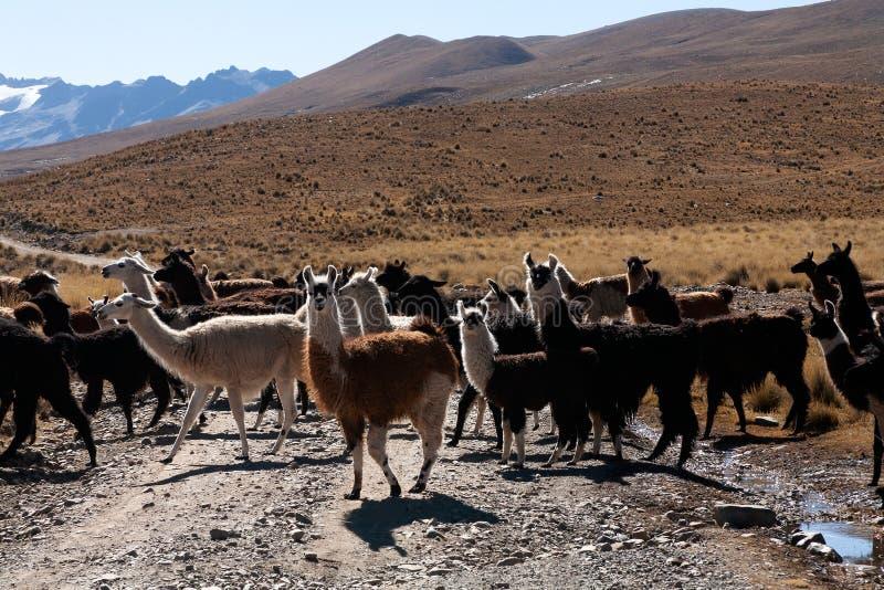 Llama in the wild in Bolivia highlands - vicuna alpaca lama stock photos