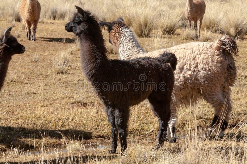 Llama in the wild in Bolivia highlands - vicuna alpaca lama royalty free stock photo