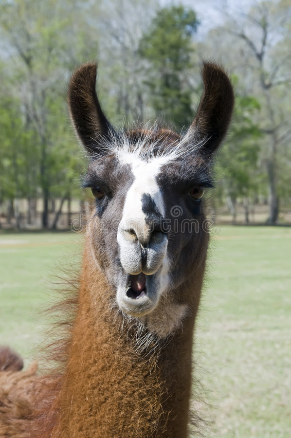 Free Llama With Open Mouth Stock Image - 8703931