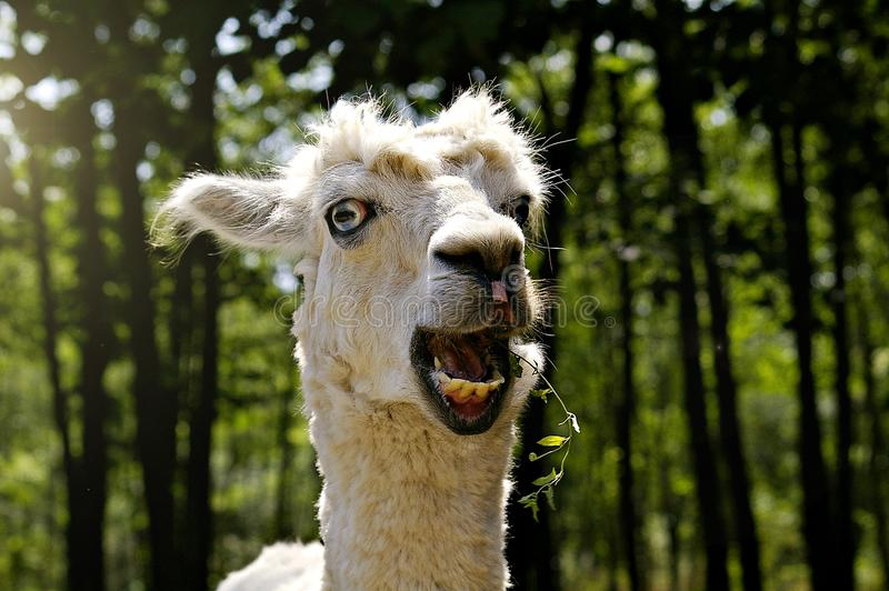 Llama in the zoo. Chewing grass and looking funny royalty free stock images