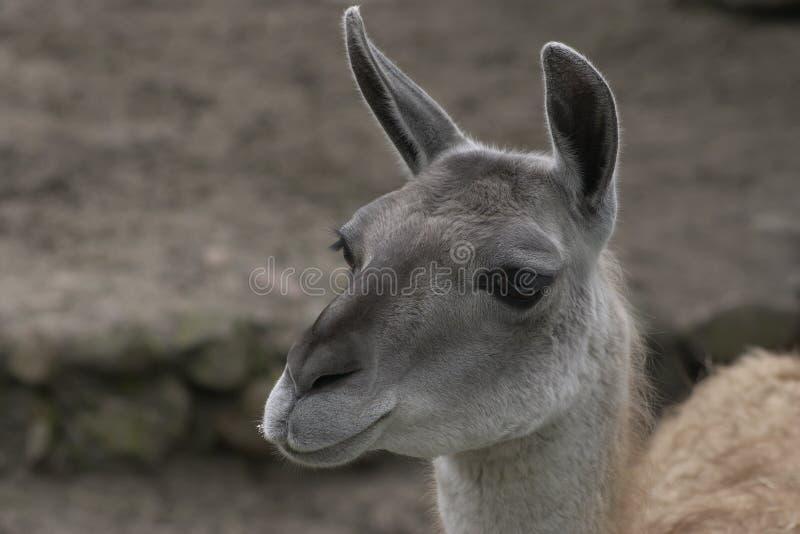 Llama1 foto de stock royalty free