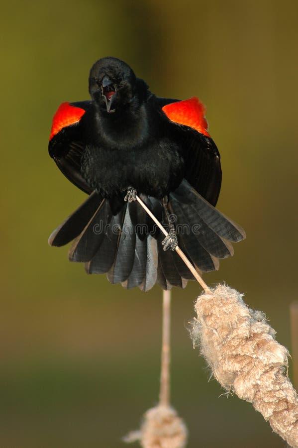 Llamada del mirlo de alas rojas fotos de archivo libres de regalías