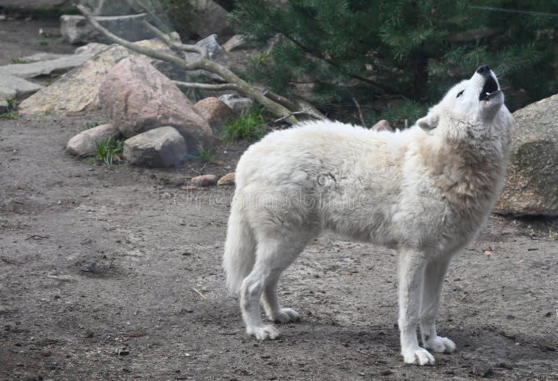 Llamadas de un lobo blanco que gritan en el bosque fotografía de archivo