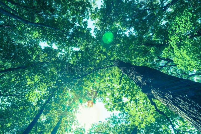 Llamaradas del sol y de la lente del toldo de bosque a través de las hojas fotos de archivo libres de regalías